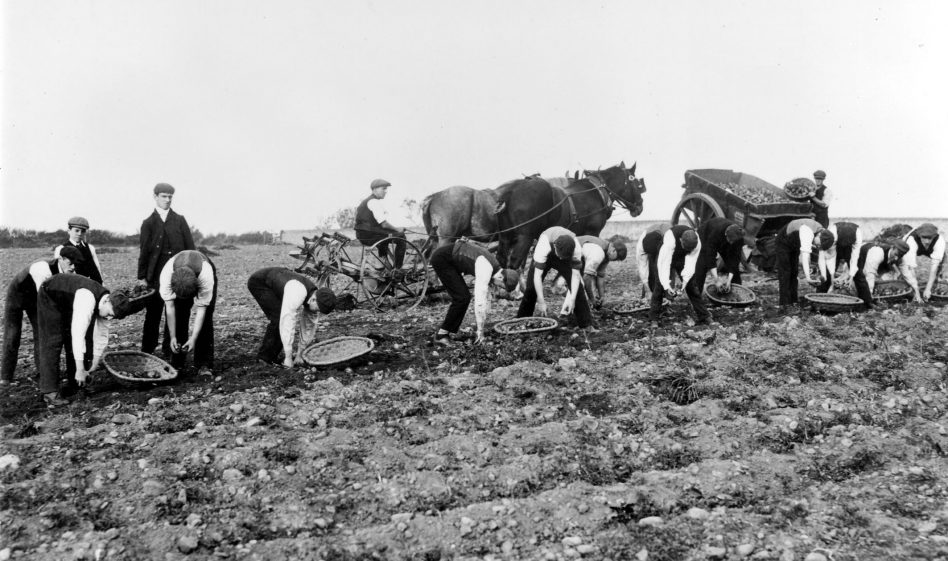 Potato picking at the Royal Albert Institution c. 1920s? The men in the photograph lived in the institution. It would have been common for many residents to work on the institution's farm in the first half of the 20th century.  | Lancashire County Museums Service
